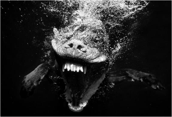 underwater-dogs-seth-casteel-5.jpg | Image